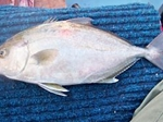 Record Greater Amberjack